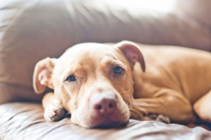 pit-bull-dog-breed-picture-3.jpg